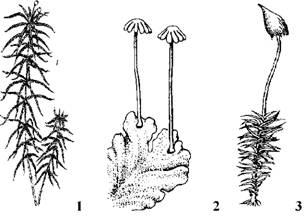 Рис 51 різноманітність мохоподібних