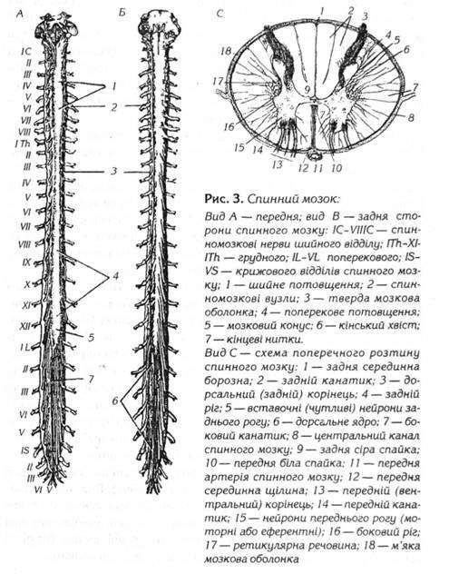 У центрі спинного мозку