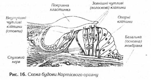 Схема будови Кортієвого органу