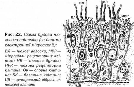Мембрани волосків нюхових клітин