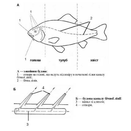 Бічна лінія кісткових риб